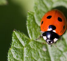 Little Lady Bug by Lynne Morris