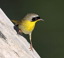A Leg Up On The Common Yellowthroat by Gary Fairhead