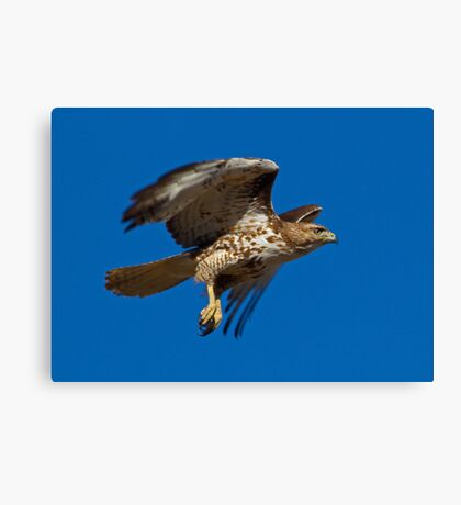 0410103 Red Tailed Hawk Canvas Print
