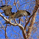 Red-tailed Hawk ~ Babies XIIII by Kimberly Chadwick
