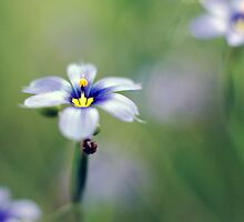 Blue-eyed grass - Texas wildflower by Colleen Rudolph
