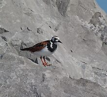 Ruddy Turnstone by May Lattanzio