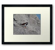 Ruddy Turnstone Framed Print
