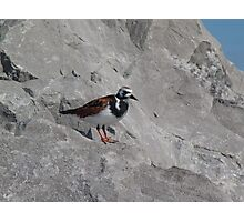 Ruddy Turnstone Photographic Print