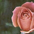 Antique Rose by Carrie Bonham