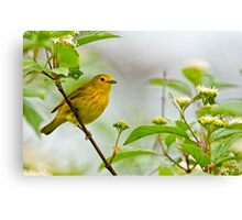 Yellow Warbler - Long Sault, Ontario Canvas Print