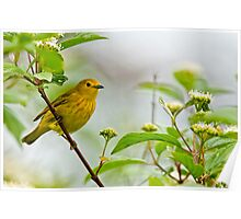 Yellow Warbler - Long Sault, Ontario Poster