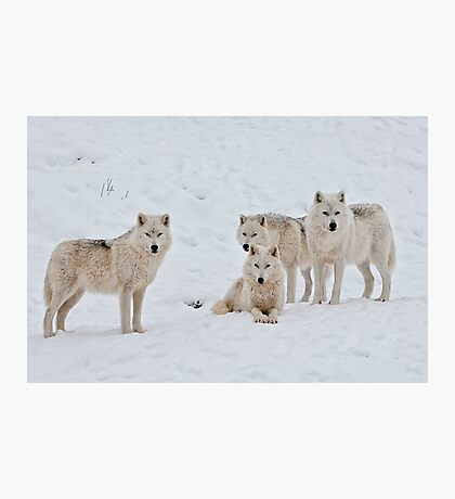 Arctic Wolves In Early Morning Photographic Print