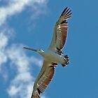 Pelican Soars by Janette Rodgers