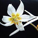 Fawn Lily by Jann Ashworth