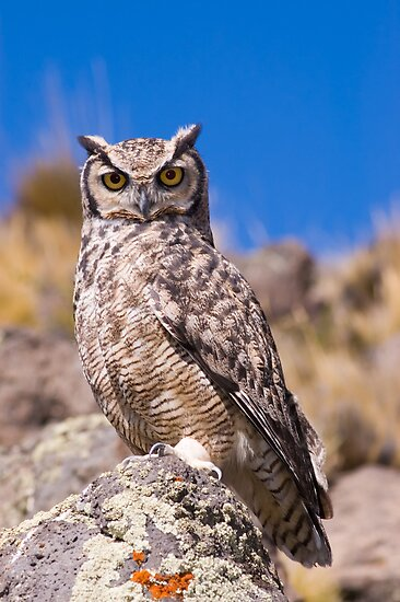Great horned owl. by Pablo Caridad