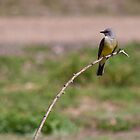 Cassin's Kingbird by Belle Farley