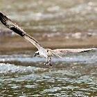 Osprey Catches a Fish (or two) by David Friederich