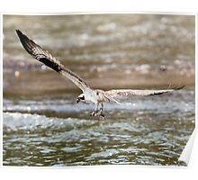 Osprey Catches a Fish (or two) Poster