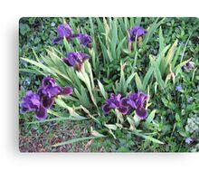 Purple Iris Patch of Glory Canvas Print