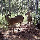 Florida Deer by MichelleR