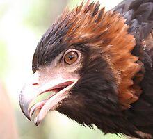 Black Breasted Buzzard Mugshot by Lyrebird