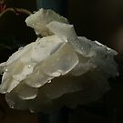 Iceberg Rose after Rain by robynart