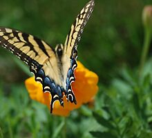Eastern Yellow Swallowtail by Betty Maxey