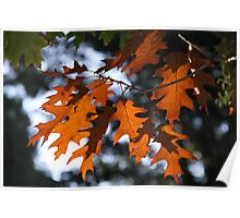 The Changing Leaves Of Autumn Coloured Brightly Red And Gold Poster