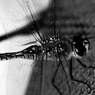 """DRAGONFLY ON PERGOLA"" B&W macro by Justine Walke"