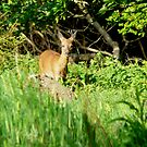 young deer in spring by Russell Couch