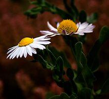 Prairie Fleabane (Erigeron modestus) by Regenia Brabham