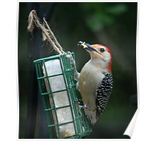 ~Red-bellied Woodpecker~ Poster