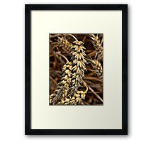 Barley Ear Framed Print