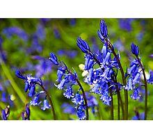 Bluebell Dance Photographic Print