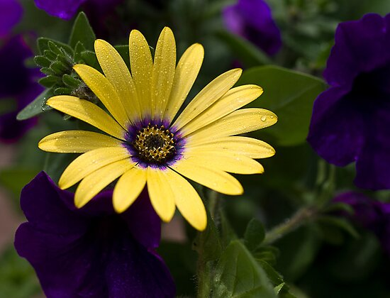 Yellow and Purple by Kathy Weaver