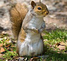 Grey Squirrel Poser! by Geoff Carpenter
