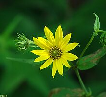 Woodland Sunflower - Helianthus divaricatus by Lee Hiller-London