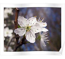Hawthorne Blossom Poster