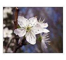 Hawthorne Blossom Photographic Print