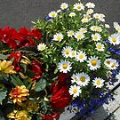 Daisies, Dahlias, Begonias and Lobelia - Planter Display by BlueMoonRose