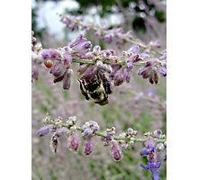 Bumblebee ~ Soft purple Photographic Print