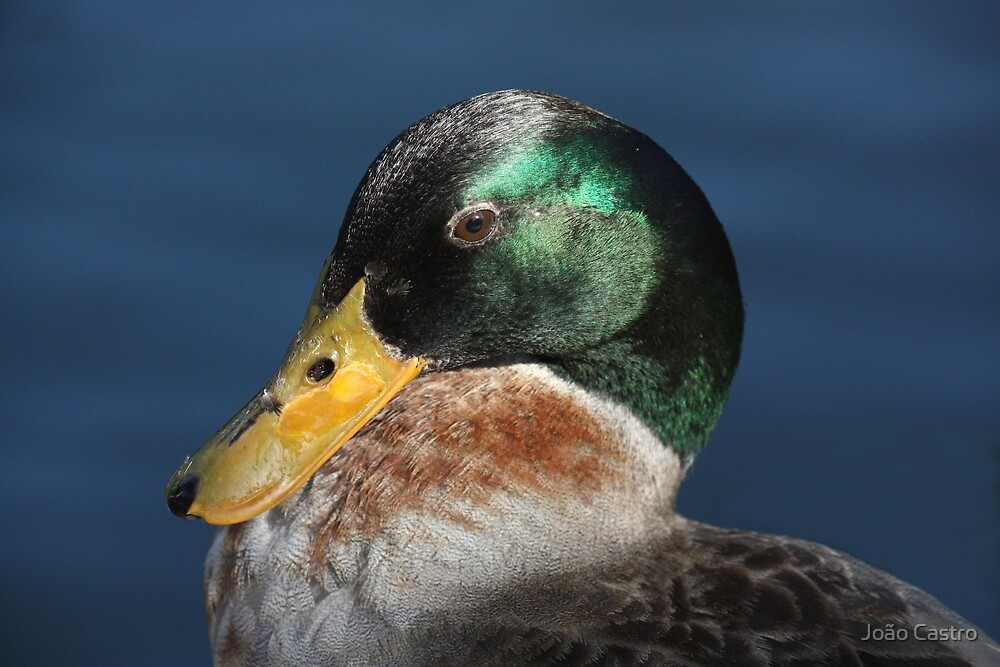 Duck 1873 by João Castro