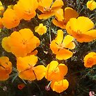 California Poppies by jdbussone
