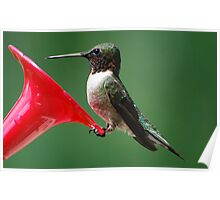 A Male Hummingbird at the Feeder. Poster