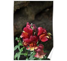 Snapdragon Red Poster