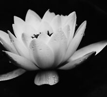 Water Lily Sideview (Black and White)  by shane22
