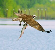 Osprey and Sushi #2 by Carl LaCasse