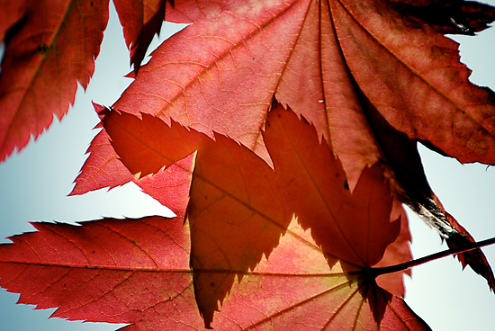 Autumn Leaves by Carl LaCasse