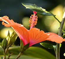 Suns Love Shines as Hibiscus Bloom by HanieBCreations