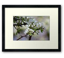 Spring Apple Blossoms Framed Print