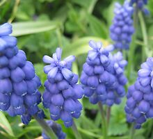 Grape Hyacinth by jdbussone