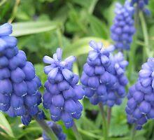 Grape Hyacinth by jdbussone