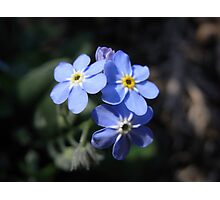 forget-me-not II Photographic Print