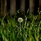 One Lonely Dandelion by dazzleng